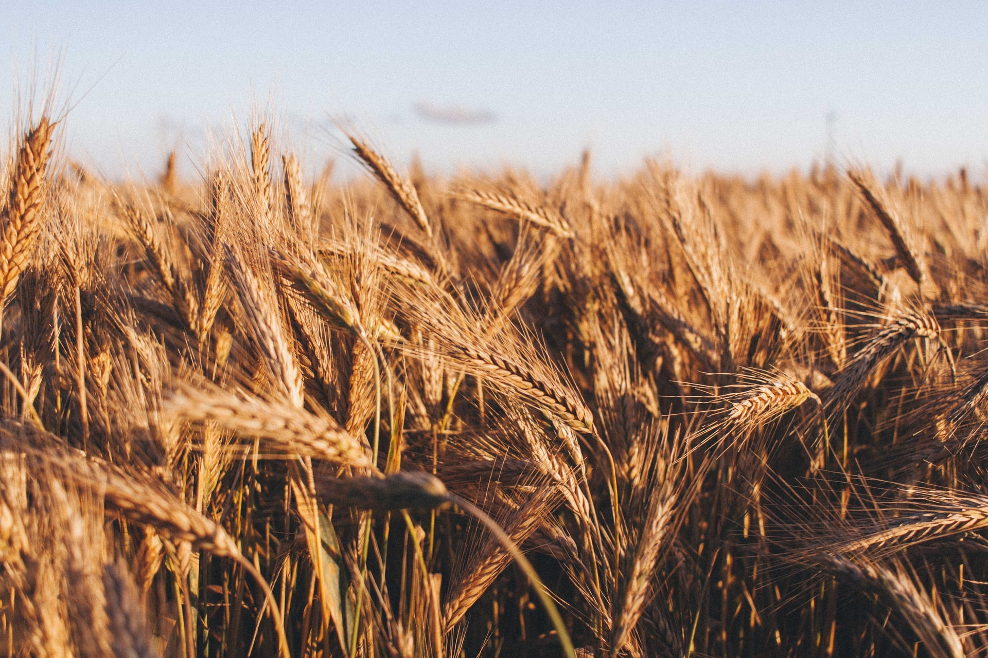 Wheat TRQ